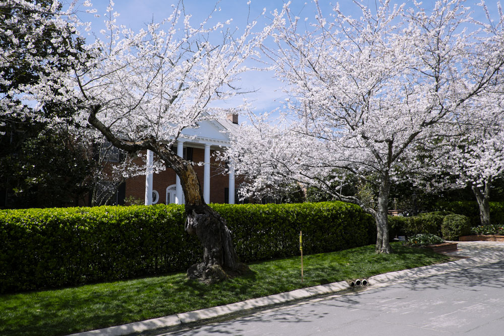 cherryblossoms-housetolaos-10