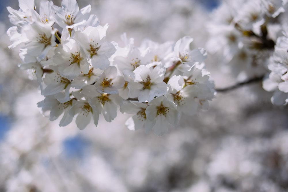 cherryblossoms-housetolaos-2